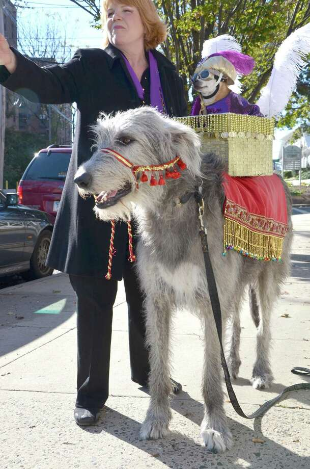 "Greenwich resident Marianne Thompson-Hillmer celebrates Halloween 2011 with her dog José, who is dressed as the ""Sultan of Greenwich"" in a gold plumed turban, saddled on top of his camel, Greta, a 165-pound Irish wolfhound. Photo: Contributed Photo"