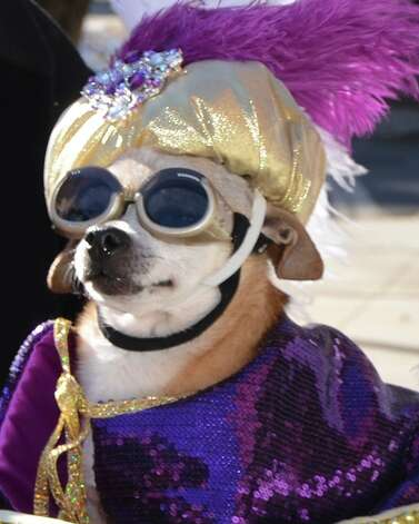 "Marianne Thompson-Hillmer's beloved Chihuahua José is seen here dressed as his alter-ego, ""The Sultan of Greenwich."" Photo: Contributed Photo"