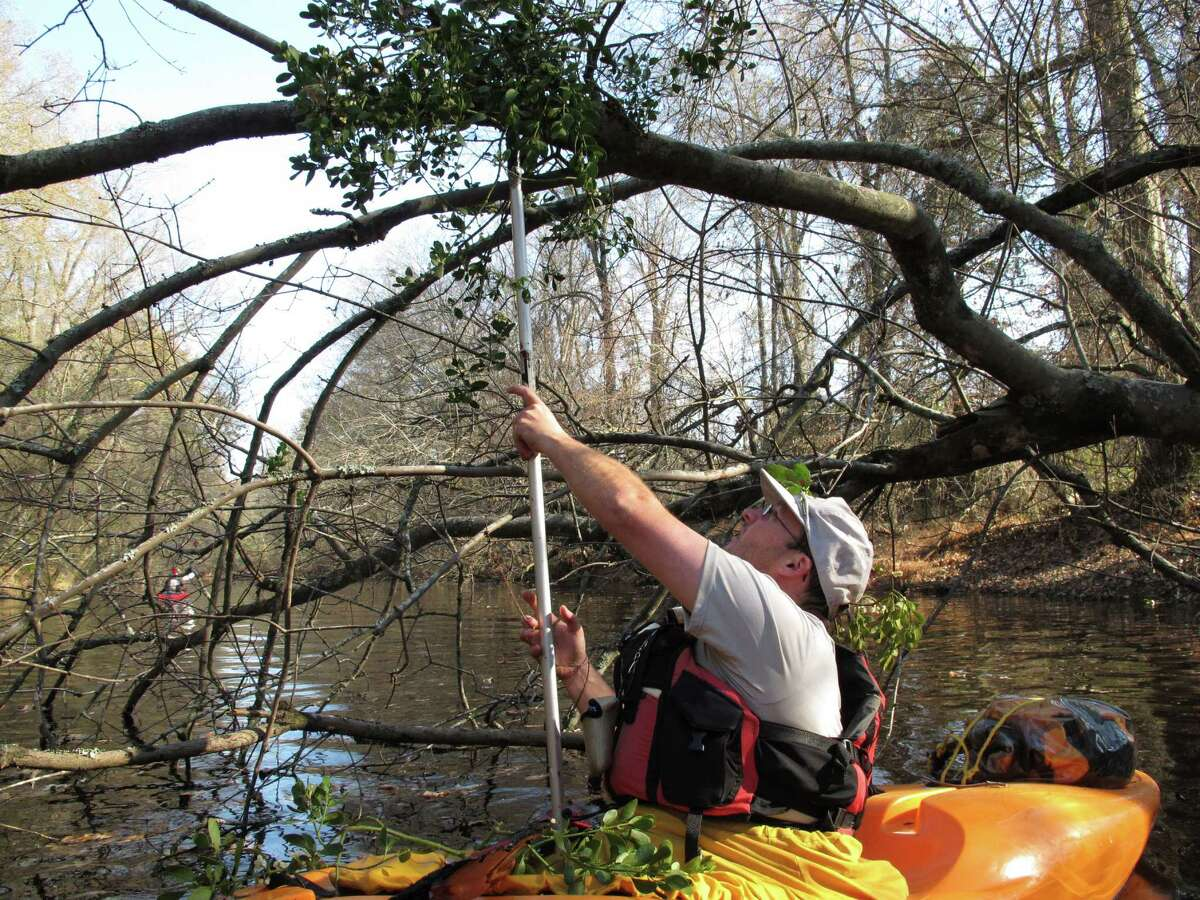 Seventh-grade science teacher Lucas Conkle tries to hook a sprig of mistletoe from his kayak on the Upper Little River near Lillington, N.C., on Saturday, Dec. 1, 2012. He was one of about a dozen people taking part in the 30th annual Sprig Outing, which started as a fundraising event for local conservationists.
