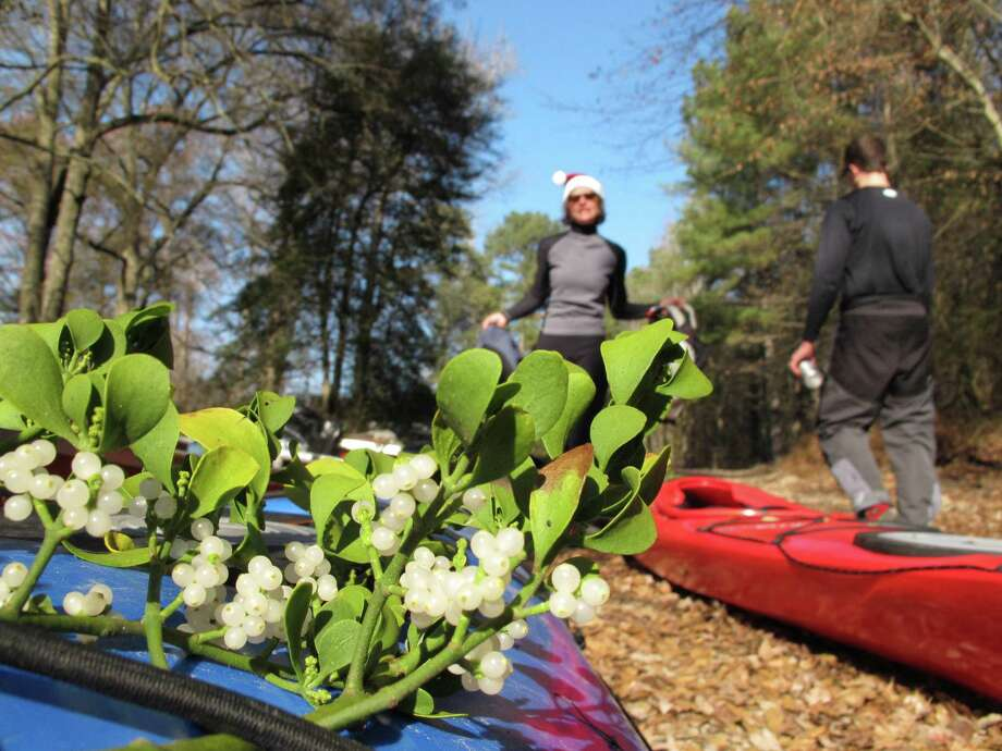 Joan Monnig walks toward a kayak festooned with mistletoe gathered along the Upper Little River near Lillington, N.C., on Saturday, Dec. 1, 2012. She was one of about a dozen people who took part in the 30th annual Sprig Outing, which started as a fundraiser for local conservationists. Photo: Allen Breed, AP / AP
