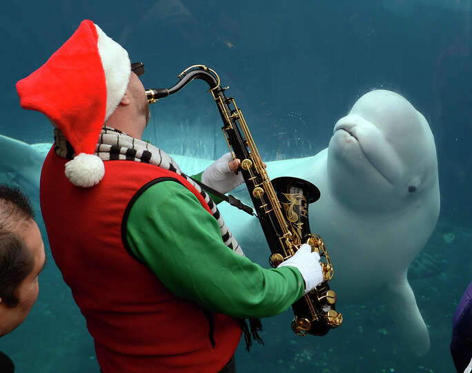 Santa playing a saxophone to serenade Juno, a 10-year-old male beluga whale, at Mystic Aquarium in M