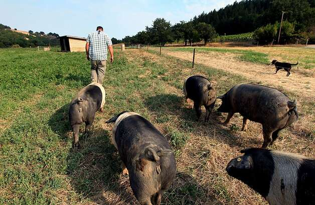 Matt Taylor owner of Front Porch Farm in Healdsburg California leads his  heirloom Cinta Senese pigs to water Tuesday August 14, 2012. Photo: Lance Iversen, The Chronicle