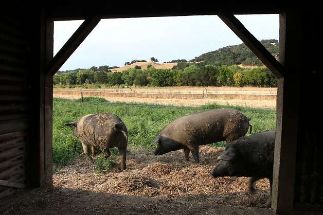 Female Cinta Senese pigs walk past their barn at Front Porch Farm in Healdsburg California Tuesday August 14, 2012. Photo: Lance Iversen, The Chronicle
