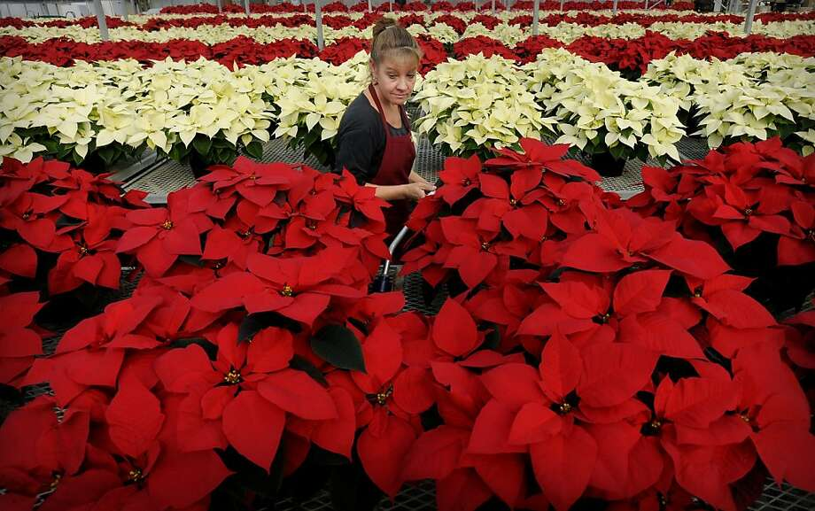 Milaeger's employee Darlene Simonsen waters holiday poinsettias on Wednesday, Dec. 5, 2012 in the store's greenhouse in Racine, Wis. Milaeger's boasts over 20,000 plants in 40 varieties and 15 colors including the new crinkle leaf and variegated varieties between it's two Racine-area stores and greenhouses. Several shades of red, white, marble, burgundy, pink and multi-colored are available in 10 sizes. Photo: Scott Anderson, Associated Press