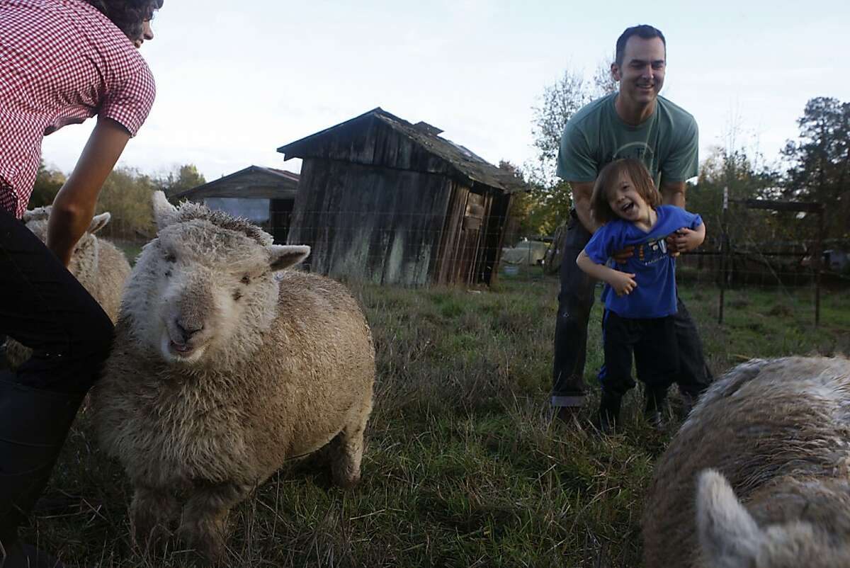 Ellen Cavalli (left) feeding her sheep including Pomona (left) as her husband Scott Heath and their son Benny Heath, 5 years old, play at their farm in Sebastopol, Calif., on Wednesday, November 28, 2012. They make hard apple cider and are called Tilted Shed Ciderworks, named after the structure in background.