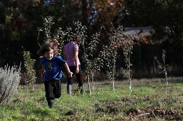 Benny Heath (front), 5 years old, running in the family apple orchard of Tilted Shed Ciderworks in Sebastopol, Calif., on Wednesday,  November 28, 2012.   Planted two years ago, Tilted Shed Ciderworks  planted traditional cider apple varieties. Photo: Liz Hafalia, The Chronicle