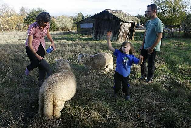 Ellen Cavalli (left), Benny Heath (middle), 5 years old, and Scott Heath (right) on the farm with their sheep in Sebastopol, Calif., on Wednesday, November 28, 2012.   They make hard apple cider and are called Tilted Shed Ciderworks, named  after the structure in background. Photo: Liz Hafalia, The Chronicle