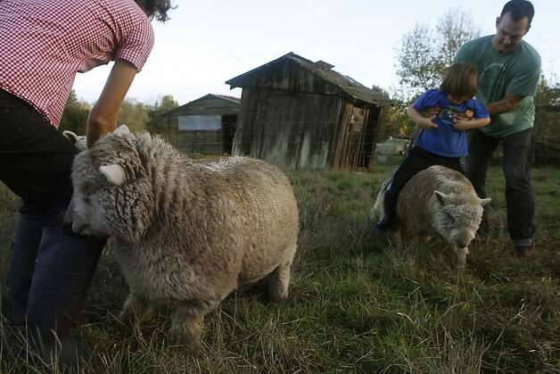 Ellen Cavalli (left) feeding her sheep including Pomona (left) while Scott Heath plays with their son Benny Heath, 5 years old, at their farm in Sebastopol, Calif., on Wednesday,  November 28, 2012.   They make hard apple cider and are called Tilted Shed Ciderworks, named  after the structure in background. Photo: Liz Hafalia, The Chronicle