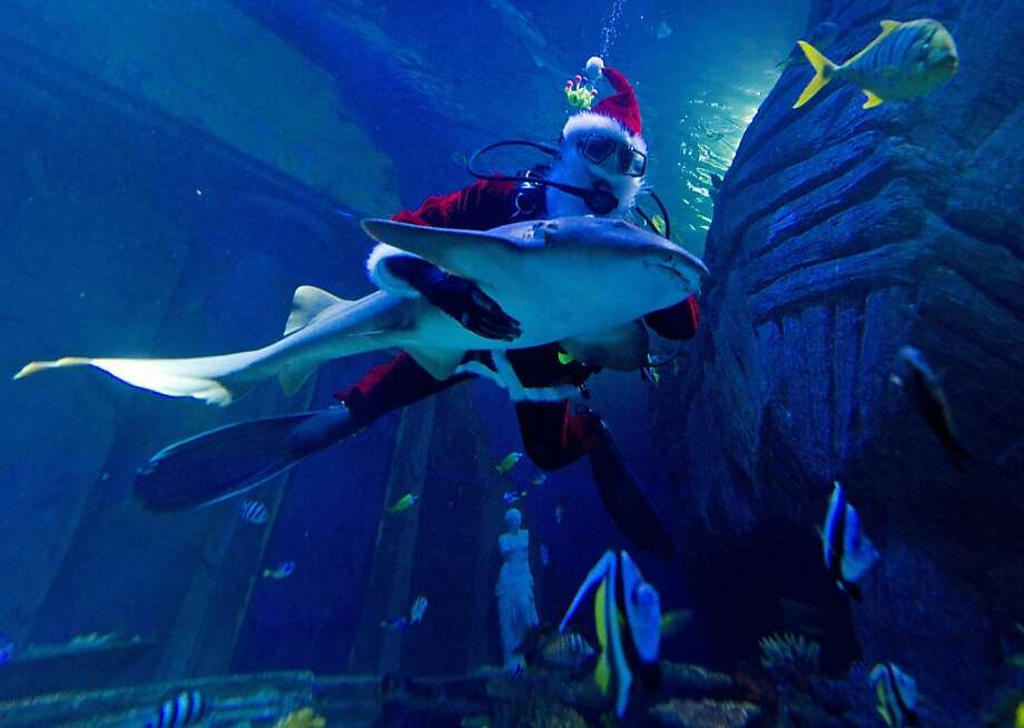 Claus rides Jaws:Santa swims with the sharks, an easy-going nurse shark to be precise, in Munich's Sea-Life-Aquarium. Photo: Peter Kneffel, AFP/Getty Images