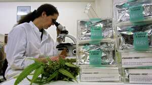 401161 02: An assistant studies marijuana/cannabis leaves in the Maripharma Laboratory February 15, 2002 in Rotterdam, Netherlands. The Dutch government is the first in the world to officially approve the cultivation and sale of cannabis products to pharmacies for medical purposes. A test by the Free Universtity in Amsterdam is conducting tests with 20 Multiple Sclerosis (MS) patients who seem to be experiencing great benefits from the treatment with marijuana.