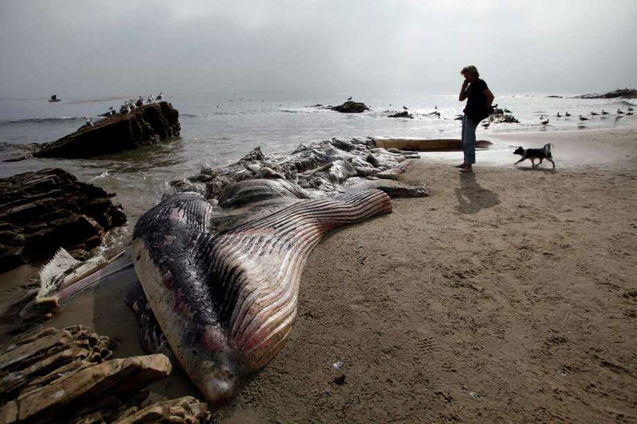 A young male fin whale washed up Monday near celebrity homes between Paradise Cove and Point Dume. Photo: Nick Ut, STF / AP