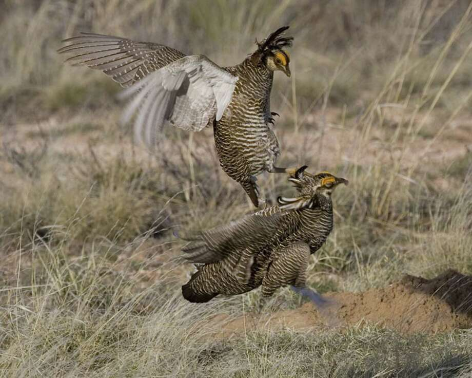 The Environmental Defense Fund's plan aims to increase the habitat range for the rare lesser prairie chicken, and thus perhaps avoid an endangered listing. Photo: Clair De Beauvoir, HO / Texas Parks and Wildlife Dept.