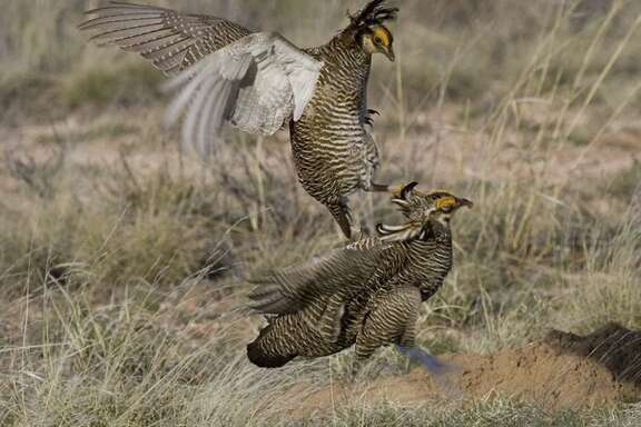 The Environmental Defense Fund's plan aims to increase the habitat range for the rare lesser prairie chicken, and thus perhaps avoid an endangered listing.