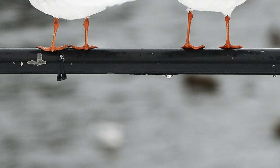 Black Headed Gull seagulls stand on a pole on December 6, 2012 in Stockholm, Sweden. Photo: Jonathan Nackstrand, AFP/Getty Images