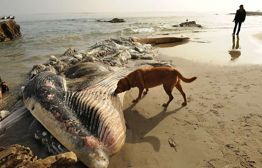 This is definitely something I should roll around in:The stench of rotting dead whale has been vexing celebrities and other well-heeled residents of Malibu, but some locals find the scent intriguing. Photo: Wally Skalij, McClatchy-Tribune News Service