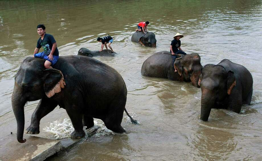 In this photo taken Dec. 3, 2012, mahouts or elephant keepers take their elephants for a morning bath in the Ruak river near an elephant camp in Chiang Rai province, northern Thailand. A Canadian entrepreneur with a background in civet coffee has teamed up with a herd of 20 elephants, gourmet roasters and one of the country's top hotels to produce the Black Ivory, a new blend from the hills of northern Thailand and the excrement of elephants  which ranks among the world's most expensive cups of coffee. Photo: Apichart Weerawong, AP / AP