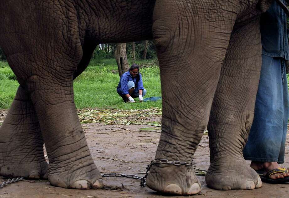 In this photo taken Dec. 4, 2012, Pimnipa Petkla, 39, a Thai mahout's wife, sifts through elephant dung for coffee beans at a camp in Chiang Rai province, northern Thailand. A Canadian entrepreneur with a background in civet coffee has teamed up with a herd of 20 elephants, gourmet roasters and one of the country's top hotels to produce the Black Ivory, a new blend from the hills of northern Thailand and the excrement of elephants which ranks among the world's most expensive cups of coffee. Photo: Apichart Weerawong, AP / AP