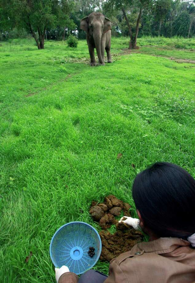 In this photo taken Dec. 4, 2012, Niang Homhuan, 37, a Thai mahout's wife, picks coffee beans out of elephant dung at a camp in Chiang Rai province, northern Thailand. A Canadian entrepreneur with a background in civet coffee has teamed up with a herd of 20 elephants, gourmet roasters and one of the country's top hotels to produce the Black Ivory, a new blend from the hills of northern Thailand and the excrement of elephants which ranks among the world's most expensive cups of coffee. Photo: Apichart Weerawong, AP / AP
