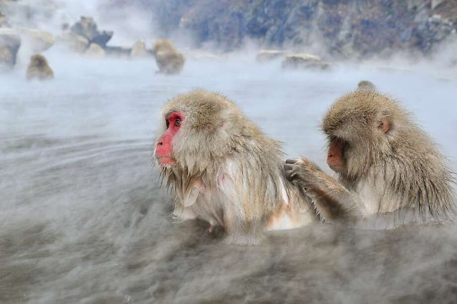 Do my back? Japanese macaques relax in a natural hot-spring bath, or onsen, at the Jigokudani (Hell's Valley) Monkey Park in Yamanouchi, Japan. Photo: Kazuhiro Nogi, AFP/Getty Images