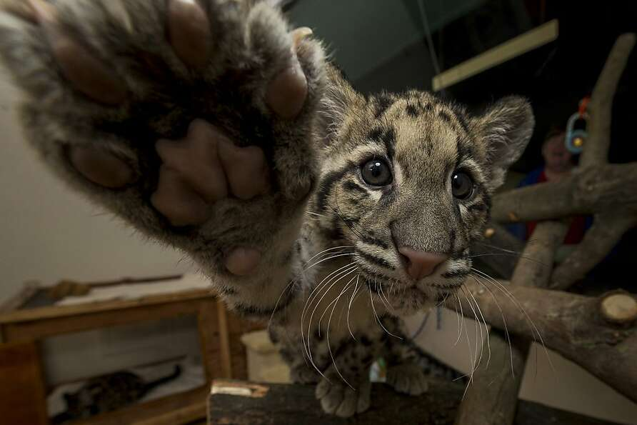 Black belt in Ni-Kon Do: Haui-san, a 14-week-old clouded leopard, tries to karate-chop a came