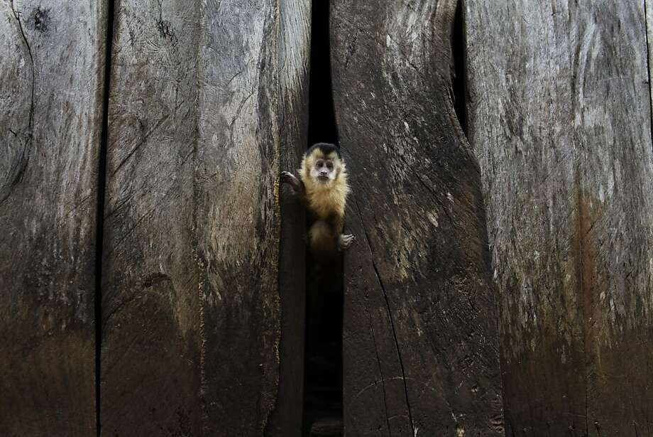Monkey see: A titi monkey peeks through a crack in a wall at a home in the Carro Cue settlement near Curuguaty, Paraguay. Photo: Jorge Saenz, Associated Press