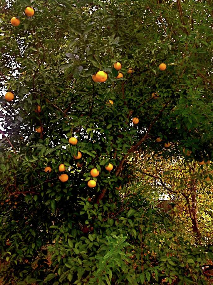 Seedling Orange Trees Can Grow 20 To 30 Feet Tall