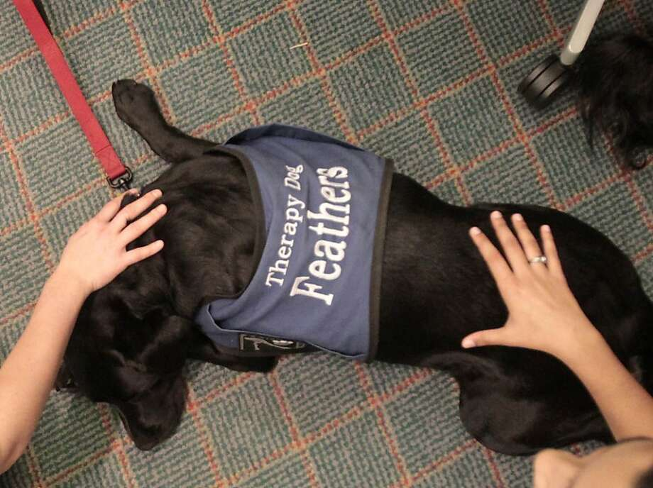 Go ahead, massage my neck. I'll soldier through it:It's a tough job being a pet therapy animal, but Feathers the black lab is up for the challenge as he helps Rice University students relieve the stress of final exams. Photo: Billy Smith II, Houston Chronicle
