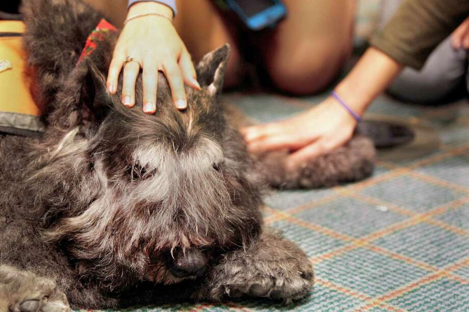 K.C. a Bouvier des Flandres has his head rubbed by a Rice student  during a visit from Faithful Paws a pet therapy group.