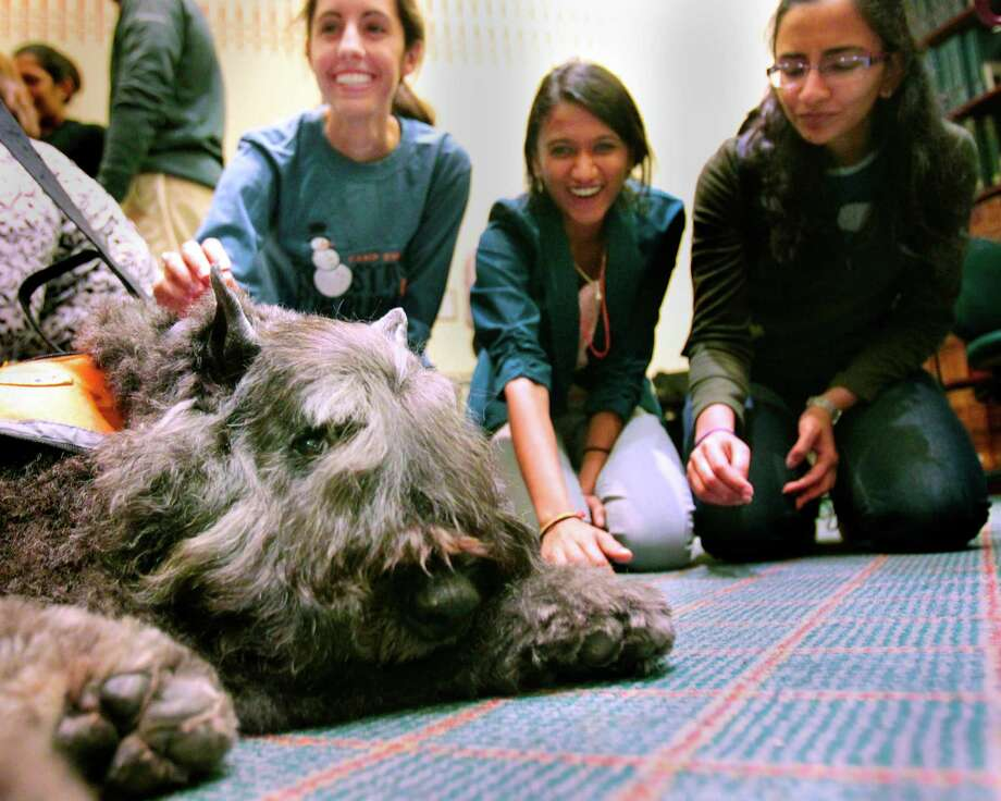 K.C. a Bouvier des Flandres takes a break as (l-r) Claire Klimko, Shachi Daru, and Dharini Natarajan give him a rubdown during a visit from Faithful Paws a pet therapy group.