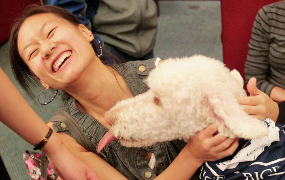 Rice student Yvonne Chen enjoys a lick on the cheek from Rudy during a visit from Faithful Paws a pet therapy group. Rice University students looked to pet therapy to relieve the stress of studying for finals, Thursday December 6, 2012 at Rice University's Fondren Library.