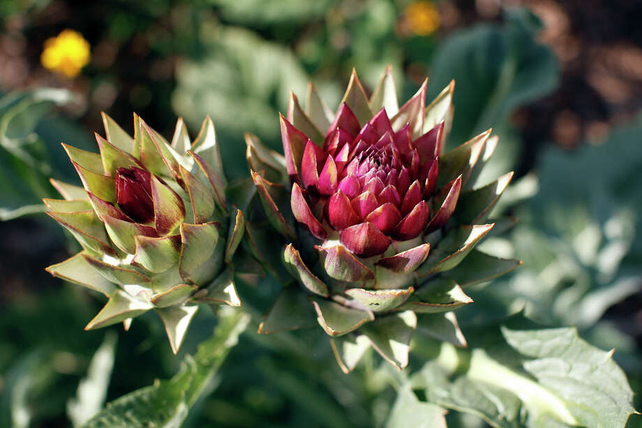 Artichoke foliage and flowers add interest to the landscape. Photo: Express-News File Photo / JWHITNEY@EXPRESS-NEWS.NET