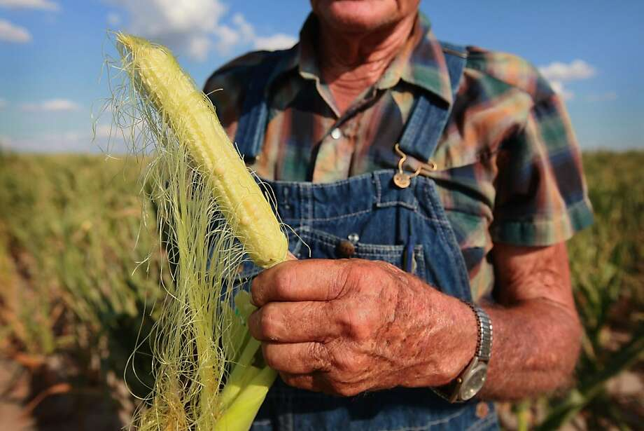Marion Kujawa looks over an ear of corn picked in mid-July from one of his fields near Ashley, Ill. He expected a yield of less than 15 bushels per acre this year, down from 180-plus. Photo: Scott Olson, Getty Images