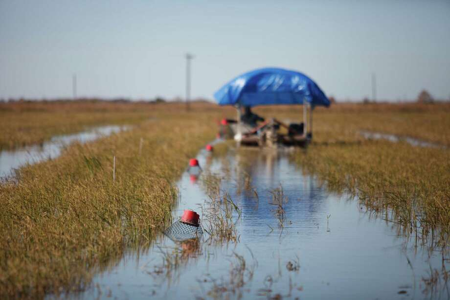 Jose Luis, an employee for Don Benoit, collects crayfish from traps at a rice field in Gueydan, La., last month. Benoit, whose family was long in the rice business, now grows rice fields as a home for crawfish. Photo: MICHAEL STRAVATO, STR / NYTNS