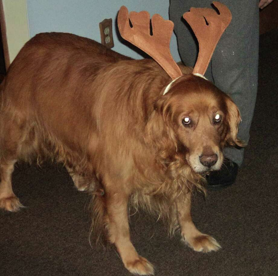 Is there such a thing as a rein-dog? KeeWee the golden retriever gets into the Christmas spirit. ?She is almost 10 and the sweetest girl,? says Tedi Toca. ?She?s very tolerant of ?dressing up? and I say she?s an actress.? KeeWee has worn bandanas Harley-Davidson hats and once permitted a lightweight pink and black helmet to go over her head for a pose. Still, Toca says KeeWee is probably happy she doesn?t have to wear a holiday sweater. (Tedi Toca)