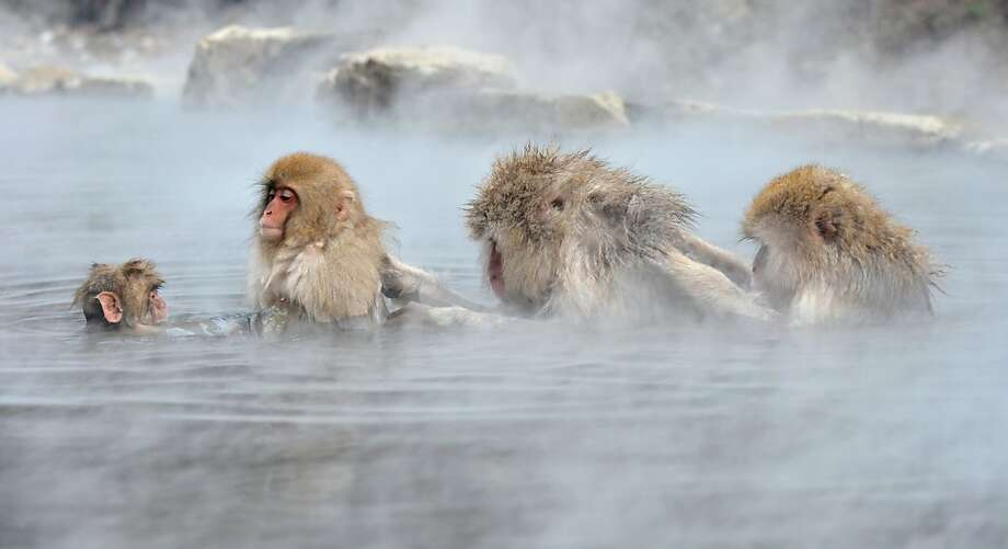 "Japanese macaque, commonly referred to as ""snow monkeys"", take an open-air hot spring bath, or ""onsen"" at the Jigokudani (Hell's Valley) Monkey Park in the town of Yamanouchi, Nagano prefecture on December 7, 2012. Some 160 of the monkeys inhabit the area and are a popular tourist draw. Photo: Kazuhiro Nogi, AFP/Getty Images"