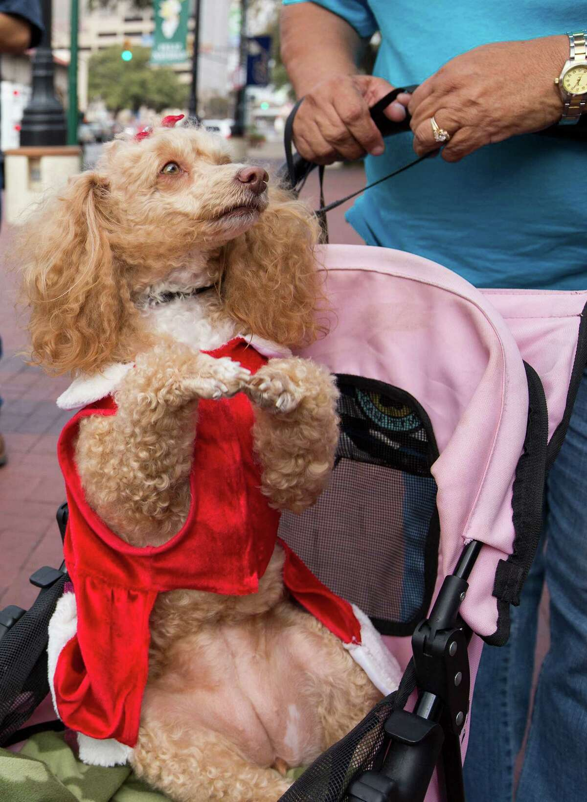 Princess Amelie, a toy poodle owned by Tacho and Maria Carrizales, performs a trick during the 26th annual Blessing of the Animals at Market Square on Saturday, Dec. 8, 2012.