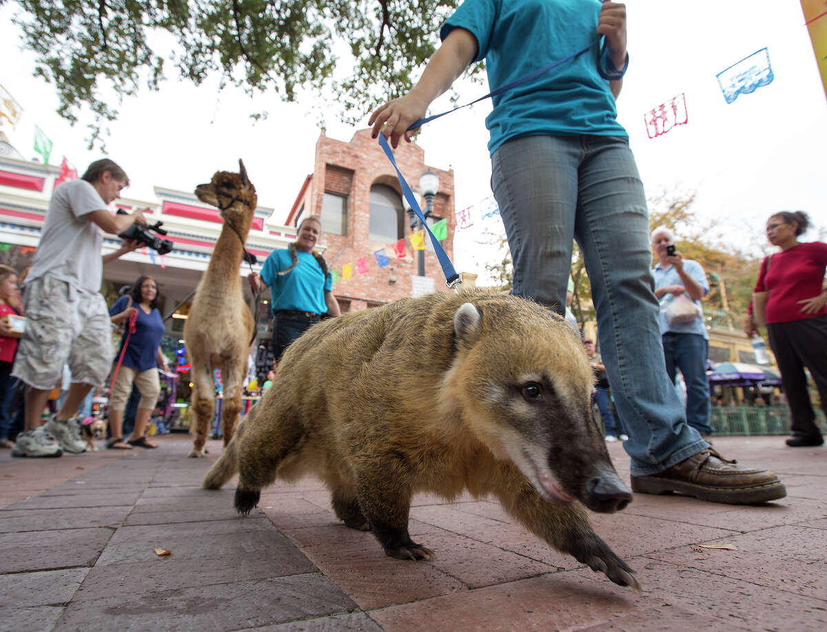 Mateo the Brazilian coati, a member of the raccoon family native to South America, Central America and southwestern parts of North America, is handled by Darby Lenihan of Happy Tails Entertainment during the 26th annual Blessing of the Animals at Market Square on Saturday, Dec. 8, 2012. An alpaca, also blessed, is in the background.
