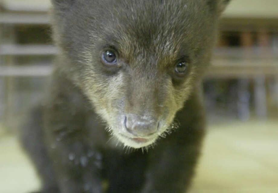 Bear cub rescue (LTWC)