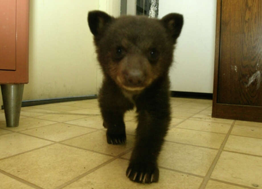 Little bear cub, one of 10 at Wildlife Care (LTWC)