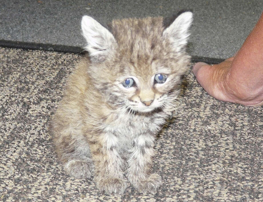 Chips the baby bobcat was found this fall amid embers at CHIPS fire near Lake Almanor (LTWC)