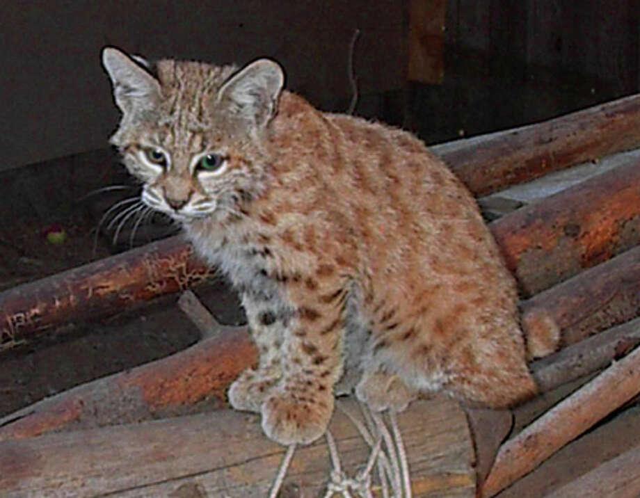 Baby bobcat (LTWC)