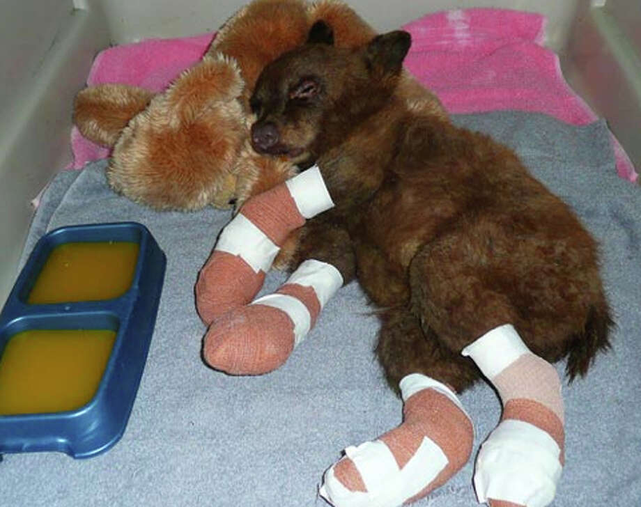 Li'l Smokey had burned paws after rescue in forest fire (LTWC)