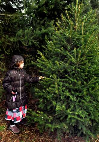 Kaitlynn Cherubini, 7, selects a Christmas tree at Paproski's Tree Farm in Newtown Sunday, Dec. 9, 2012. Photo: Michael Duffy