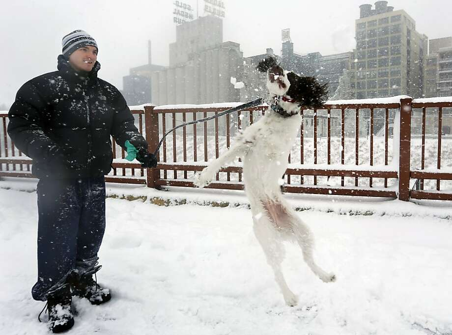 STELLA! An English Springer Spaniel by the name of Stella snaps at a snowball tossed by  Adam Womersley in Minneapolis. Photo: Richard Tsong-Taatarii, Associated Press
