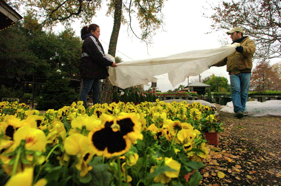 Blankets, towels, buckets, old shirts  and whatever else are covering plants in the yard. Photo: JOHN DAVENPORT, SAN ANTONIO EXPRESS-NEWS / SAN ANTONIO EXPRESS-NEWS