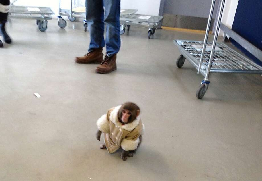 Can you direct me to the Expedit shelving units?After letting itself out of a crate in a parked car, a monkey wearing a coat and diapers wanders around an IKEA in Toronto. The animal's owner contacted police later in the day and was reunited with the pet. Photo: Bronwyn Page, Associated Press