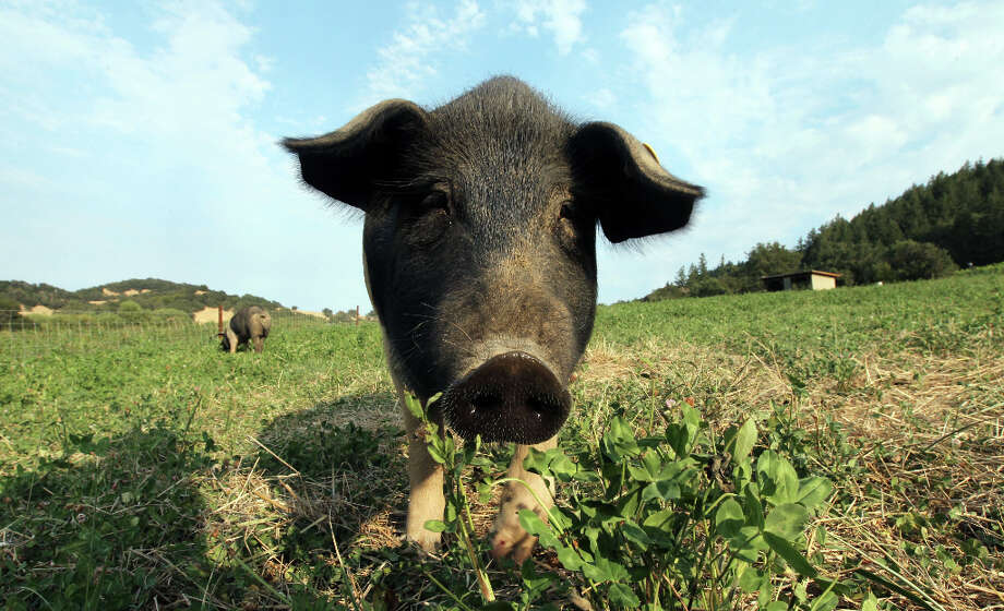 A curious Cinta Senese pig at Front Porch Farm. The heirloom breed was imported from Tuscany Italy, and is known for their gentle manner and soft mouths. Photo: Lance Iversen, The Chronicle / ONLINE_YES