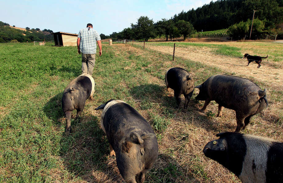 Leading the pigs to water. Photo: Lance Iversen, The Chronicle / ONLINE_YES