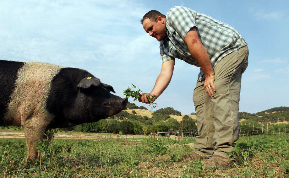 Matt Taylor offers a bunch of alpha and clover to one of his heirloom pigs. Photo: Lance Iversen, The Chronicle / ONLINE_YES