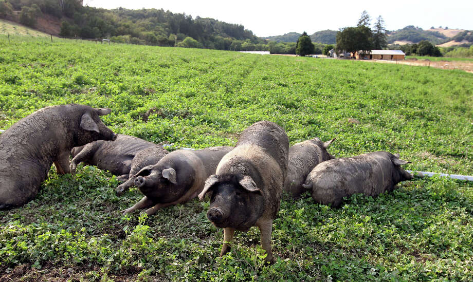 Female Cinta Senese pigs bead down in a field of alpha and clover. Photo: Lance Iversen, The Chronicle / ONLINE_YES